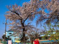 桜も菜の花も - 空を見上げて