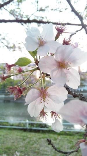 桜11 - azure