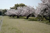 浜離宮庭園終盤の桜 - tomotomo