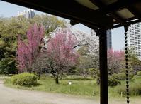 浜離宮庭園終盤の桜   2 - tomotomo