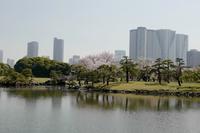 浜離宮庭園終盤の桜  3 - tomotomo