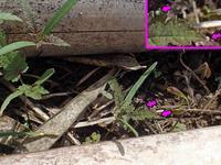 キタテハの卵 - 秩父の蝶