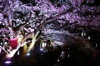夜桜とケーキ ~Spaziergang mit dem Geburtstagkind~ - チーム名はファミリエ・ベア ~ハイジが記すクマ達との日々~