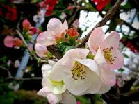 #835 木瓜の花 - ちょた☆グラフ