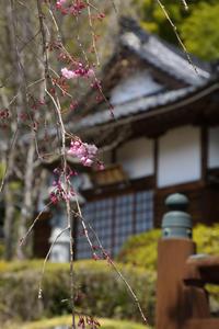 古寺枝垂桜  - 風の彩り-2