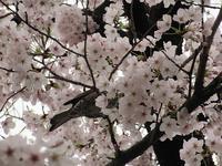 桜と鳥とうーちゃんと・・・ - a&kashの時間。