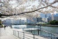 春爛漫の天王洲、ふれあい橋あたり - 柳に雪折れなし!Ⅱ