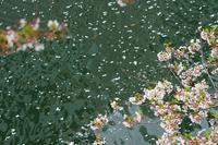 目黒川最下流の花筏 - 柳に雪折れなし!Ⅱ