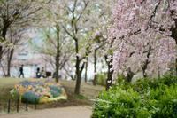 東品川海上公園の桜 - 柳に雪折れなし!Ⅱ