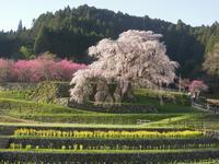 又兵衛桜を観に - タワラジェンヌな毎日