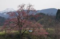 向野の江戸彼岸桜 - きょうから あしたへ その2