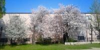 今日は・・昼間こんな桜の木下で、うたた寝をしてしまいました。 - 太田 バンビの SCRAP BOOK