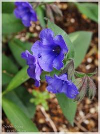 Some blue flowers. - Garden Diary