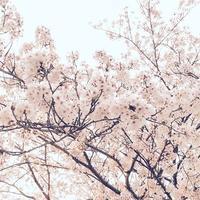 曇天桜 - Bd-home style