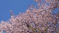 2017、櫻、咲く。-拾禄:やっと晴れた朝 - デハ712のデジカメ日記2017