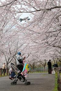 桜のトンネル - WiNGSCAPE