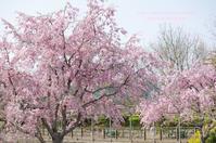 デンパーク 桜 - 気ままなたわし