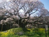 吉高の大櫻 4/15 - つくしんぼ日記 ~徒然編~