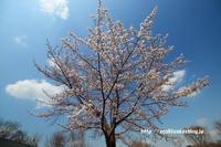 《花》 思い出の里の染井吉野 - 100-400ISの部屋
