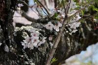 あけぼの山農業公園の桜とチューリップ - 亢竜悔いあり