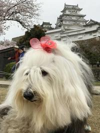 わんちゃん紹介 ムーちゃん君は桜より美しい♪ - はばたけ MY SOUL