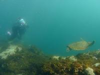 冷水塊でも、カメ&ウミウシは元気です(^^)v - 八丈島ダイビングサービス カナロアへようこそ!
