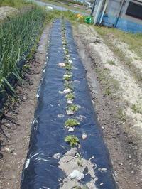 170413 ジャガイモの芽欠き - ア カプリチョ