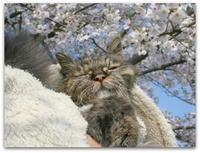 ご長寿猫 はんぞう との暮らし 「桜 と はんぞう☆」 - たびねこ