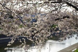 桜は、やっぱり癒される - 今日も今日とてお節介