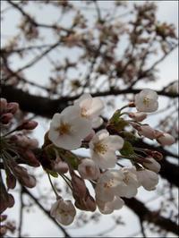 桜前線到達 - じょんのび