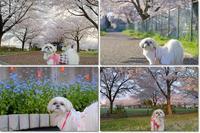 桜は飽き飽きですか? - ポロと歩く