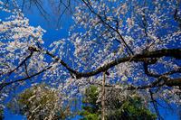 京都の桜2017 溪仙桜咲く車折神社 - 花景色-K.W.C. PhotoBlog