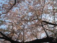桜舞い散る・・・ - オーク、熟成中
