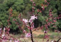 桃の花とか、、、 - 3色猫だんご+1