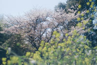 Sakura @Midorikawa - HARELu