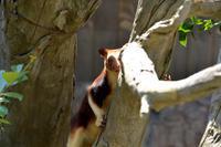 セスジキノボリカンガルーは見ていた。 - 動物園へ行こう