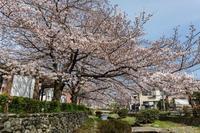 津田山霊園の桜 - あだっちゃんの花鳥風月