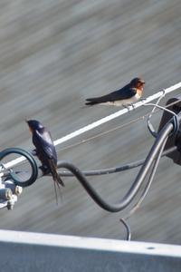 春が来た! ツバメの帰巣と、スズメの子作り♬ - Air Born Japan 日本の空を、楽しもう!