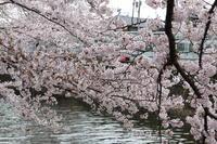 ご近所川沿いの桜も満開♪ 2 - Let's Enjoy Everyday!
