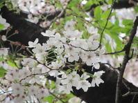 可憐な桜 と 祈りに満ちる 聖金曜日。。。Good Friday 。。。 *。:☆.。† - 代官山だより♪