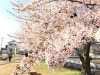 裏の桜、、、、 Part2 - 鈴鹿どじはうす  jazz情報   営業時間 15:00-23:00   月火休  [since1981]