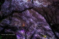 千鳥ヶ淵の桜と東京タワー - 風景とマラソンと読書について語るときに僕の撮ること