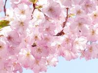 散り往く桜と... - tokoya3@