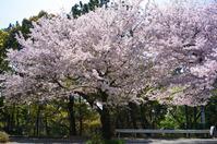 桜端月 寫誌 ⑨ 今年もそろそろ見納めか… - le fotografie di digit@l