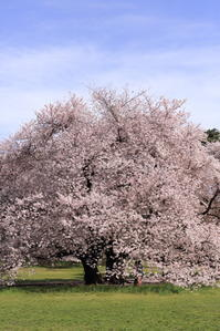 砧公園の桜 - i feel fine