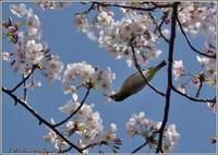 桜メジロとオオルリ - 野鳥の素顔 <野鳥と・・・他、日々の出来事>
