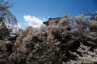上田城千本桜 - 四季折々に・・・・・