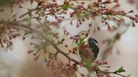 明日はコムクドリと桜撮れるかな? - Life with Birds 3