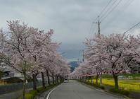 観桜ご近所ドライブツアー(2)  ~ 桜を追いかけ、長くくねった道を ~ - 大屋地爵士のJAZZYな生活