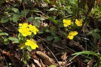 ■ 春の花 3種   17.4.14   (ミツバツチグリ、ホタルカズラ、ニオイタチツボスミレ) - 舞岡公園の自然2